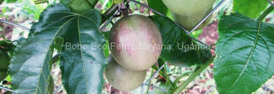 boboecofarm-fruits