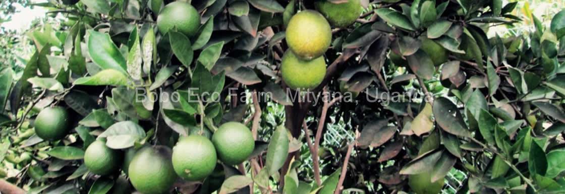 boboecofarm-oranges
