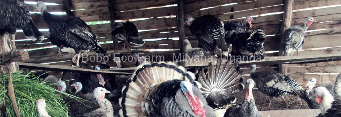 boboecofarm-turkeys